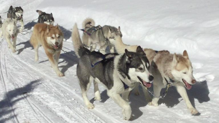 Dogs pulling sled